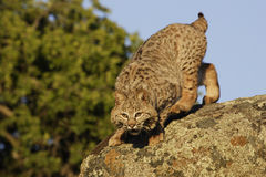 Bobcat Springing from Boulder Royalty Free Stock Photos