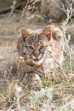 Bobcat stalking on prey Stock Photography