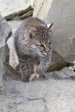 Bobcat stalking between rocks. Bobcat making a stalk in rocks Royalty Free Stock Photo