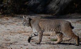 Bobcat Stalking zijn Prooi in Yosemtie-Vallei stock fotografie