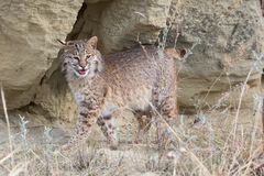 Bobcat standing broadside Royalty Free Stock Photos