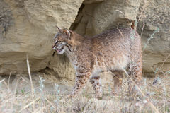 Bobcat standing broadside Royalty Free Stock Image