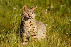 Bobcat standing in a grass with flowers Royalty Free Stock Image