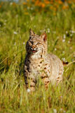 Bobcat standing in a grass with flowers Royalty Free Stock Images