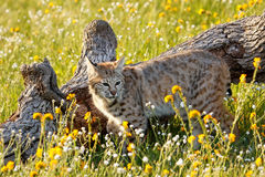 Bobcat standing in a grass with flowers Stock Image