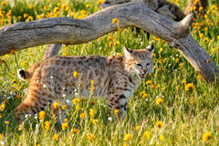 Bobcat standing in a grass with flowers Stock Photos