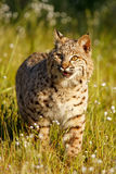 Bobcat standing in a grass with flowers Royalty Free Stock Photography