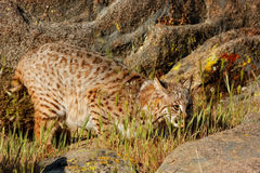 Bobcat standing in a grass near rocks Stock Photos