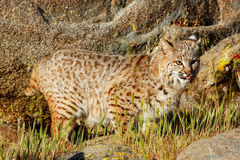 Bobcat standing in a grass near rocks Stock Photo