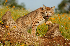 Bobcat standing on a log Stock Photos