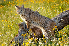 Bobcat standing on a log. Bobcat Lynx rufus standing on a log Royalty Free Stock Images