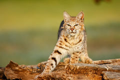 Bobcat standing on a log Stock Photo