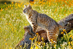 Bobcat standing on a log Royalty Free Stock Photos