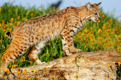 Bobcat standing on a log Royalty Free Stock Photo