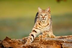 Bobcat standing on a log Stock Photo