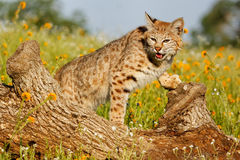 Bobcat standing on a log Royalty Free Stock Image