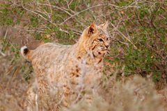 Bobcat standing near bushes Royalty Free Stock Image