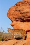 Bobcat standing on red rocks. Bobcat Lynx rufus standing on red rocks Royalty Free Stock Photos