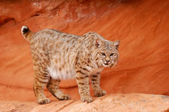 Bobcat standing on red rocks Stock Photography