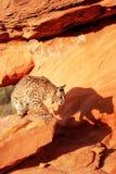 Bobcat standing on red rocks. Bobcat (Lynx rufus) standing on red rocks Royalty Free Stock Images