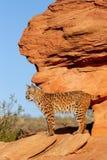 Bobcat standing on red rocks. Bobcat (Lynx rufus) standing on red rocks Stock Photo