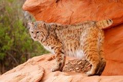 Bobcat standing on red rocks. Bobcat (Lynx rufus) standing on red rocks Stock Photography