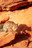 Bobcat standing on red rocks Royalty Free Stock Images