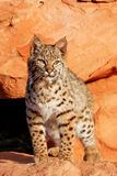Bobcat standing on red rocks Royalty Free Stock Photography