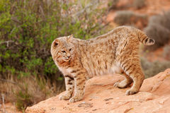 Bobcat standing on red rocks Stock Photos