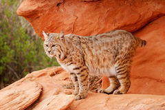 Bobcat standing on red rocks Royalty Free Stock Image