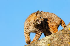 Bobcat standing on a rock Royalty Free Stock Photography