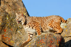 Bobcat standing on a rock Royalty Free Stock Images