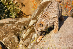 Bobcat standing on a rock Stock Photography