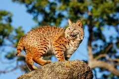Bobcat standing on a rock Royalty Free Stock Photos