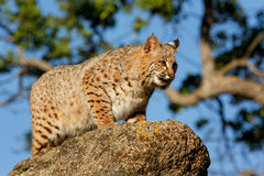 Bobcat standing on a rock Stock Photos