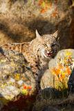 Bobcat standing by rocks Stock Photos