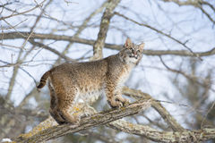 Bobcat standing on tree branch Royalty Free Stock Photo