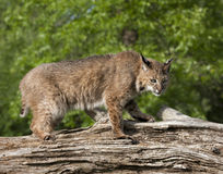 Bobcat Staring Intently. Adult bobcat staring intently at something below his position on a log Stock Images
