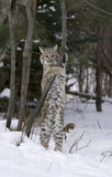 Bobcat stretching Stock Photo