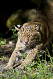 Bobcat stretching Stock Images