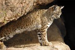 Bobcat Stretching After een Dutje Stock Afbeelding