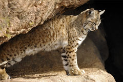 Bobcat Stretching After a Nap.  Stock Image