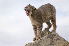 Bobcat stretching at sunrise. Bobcat stretching himself on rock Royalty Free Stock Photos