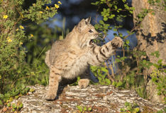 Bobcat striking with paw Stock Image