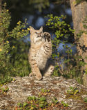 Bobcat striking with paw Royalty Free Stock Photo