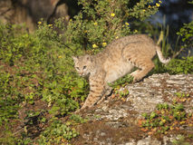 Bobcat striking a pose on a rock. Bobcat on rock with pose Royalty Free Stock Photography