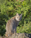 Bobcat striking a pose on a rock. Bobcat on rock looking back toward camera Royalty Free Stock Photo