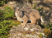 Bobcat striking a pose on a rock. Bobcat on rock with tongue out looking at camera Stock Photo