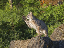Bobcat striking something with paw in air. Bobcat on rock with paw in air stock images