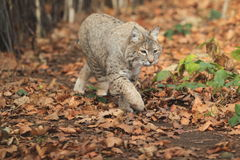 Bobcat. The bobcat strolling in the foliage Royalty Free Stock Image